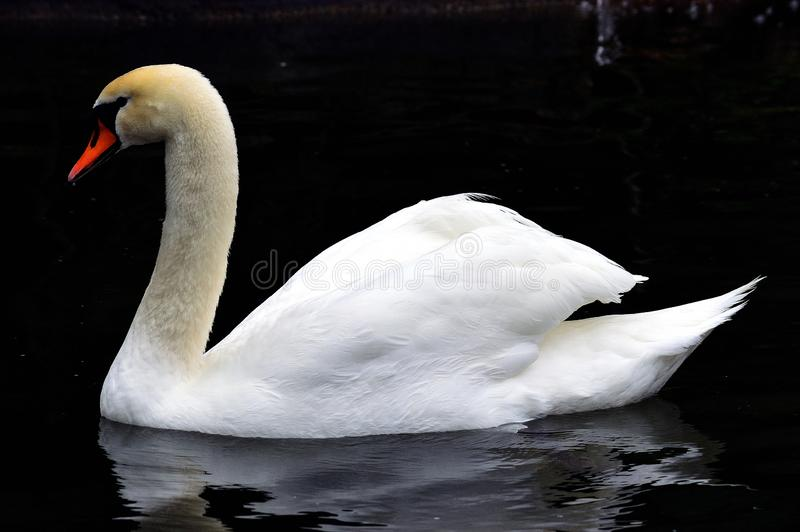 Swan. Mute Swan. Mute swan with beautiful reflection of autumn colors in the water royalty free stock images
