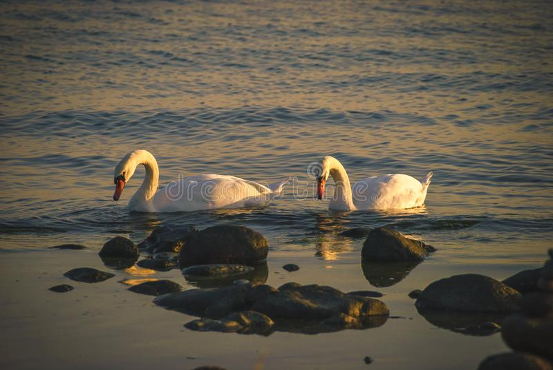 Swans together for life royalty free stock images