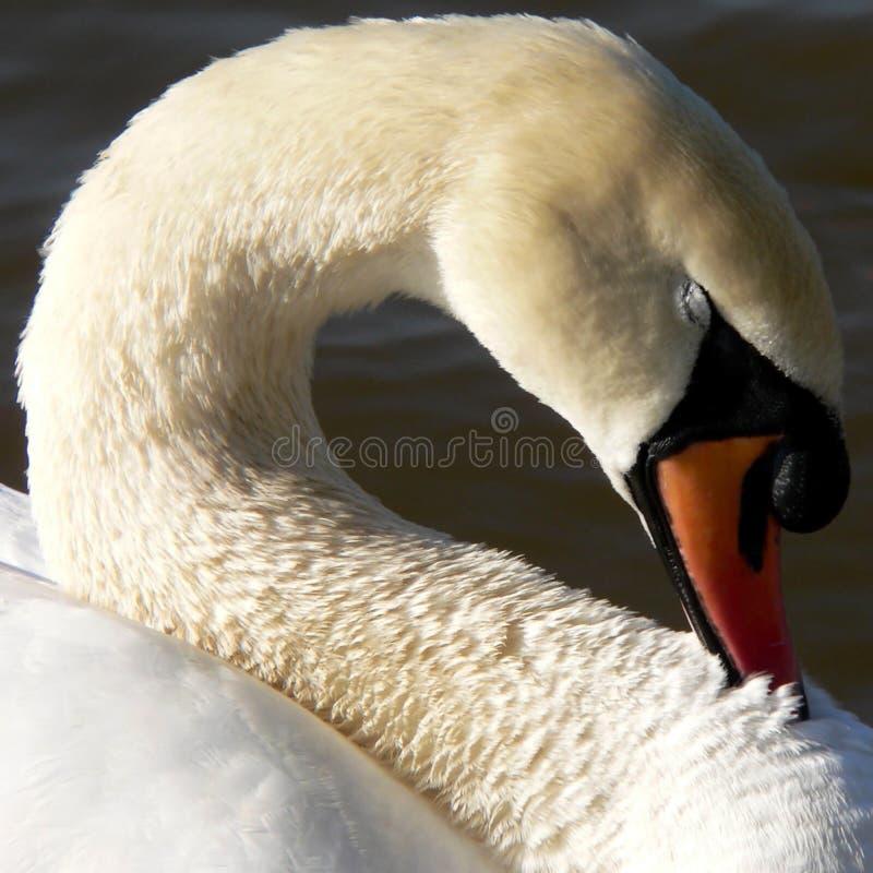 Swan neck royalty free stock photos