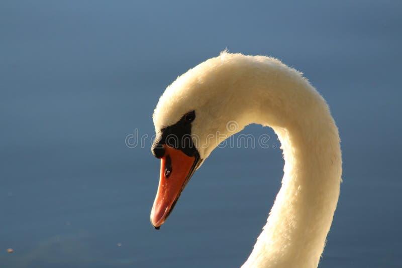 Swan neck at Dusk stock photo
