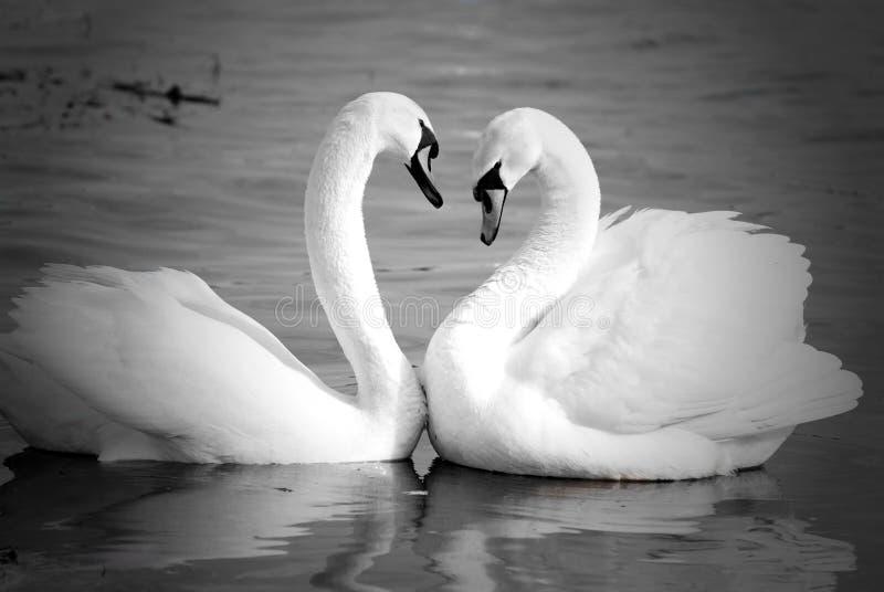 Swan necks forming love heart stock photos