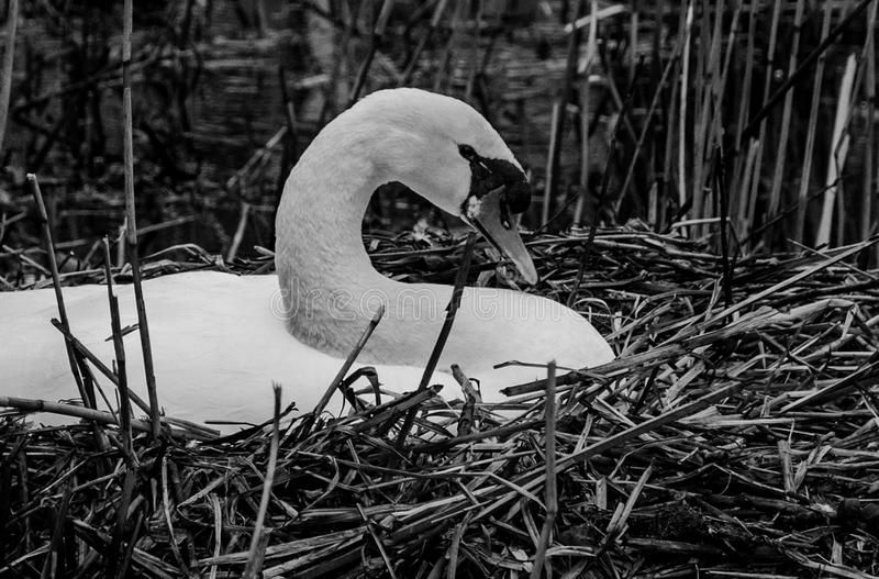 Swan on nest stock images
