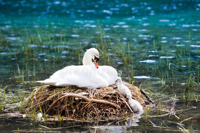 Swan nest in mountain lake. Mother bird and babies royalty free stock image