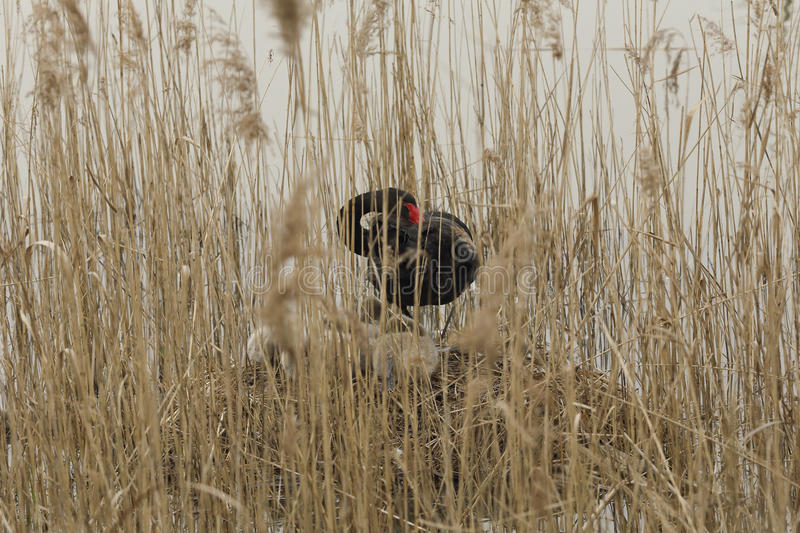 Download Swan Nest In The Reeds Stock Photo - Image: 67151216