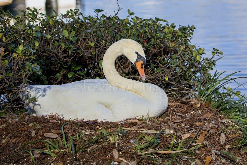 Swan On Nest stock photo