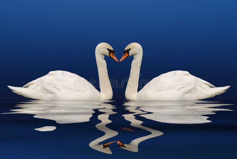 swan odbić 2 obraz royalty free