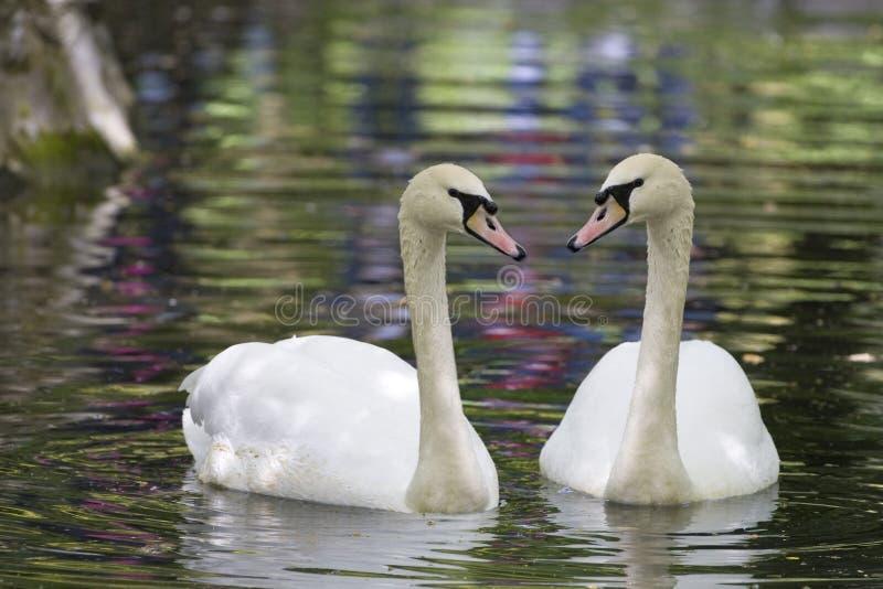 swan odbicia fotografia royalty free