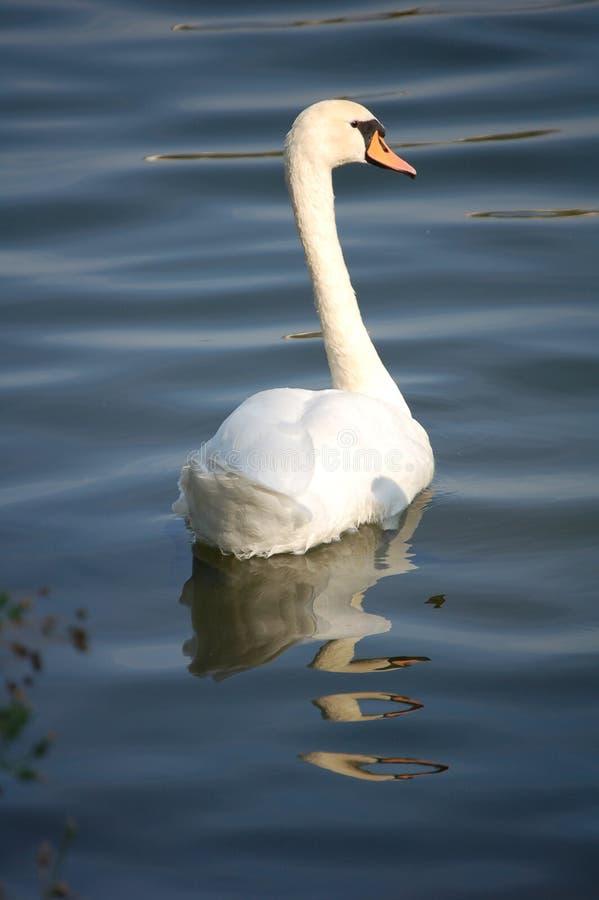 swan odzwierciedlać wody zdjęcia stock