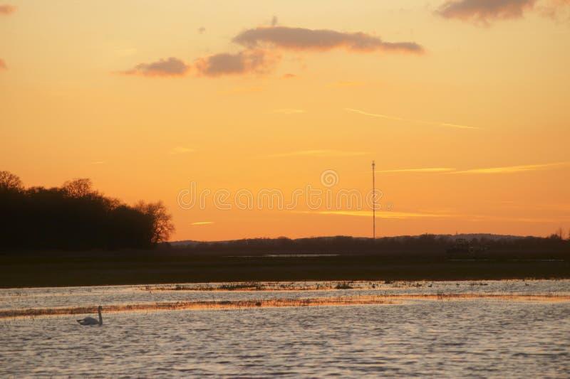 Swan på solnedgången royaltyfria foton