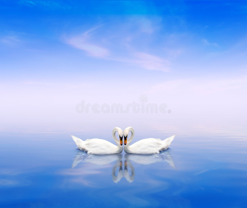 A swan pair on a blue background stock photos