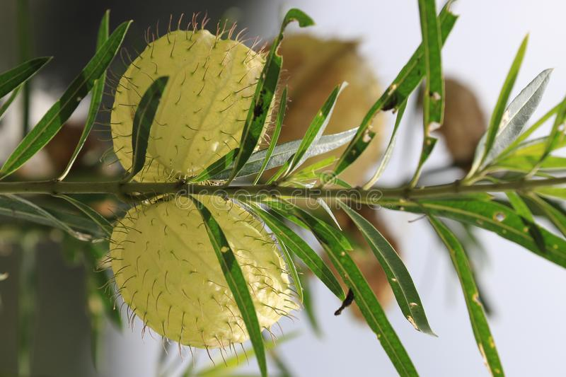 Swan plants for the Monarch Butterfly. It is often used as an ornamental plant. The name `balloonplant` is an allusion to the swelling bladder-like follicles stock images