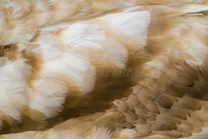 Swan Plumage. Brown plumage of young swan stock photography