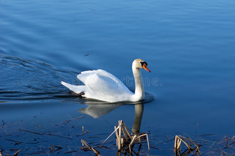Download Swan on the pond stock image. Image of feather, green - 38564823