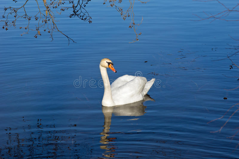 Download Swan on the pond stock photo. Image of natural, plant - 38564944