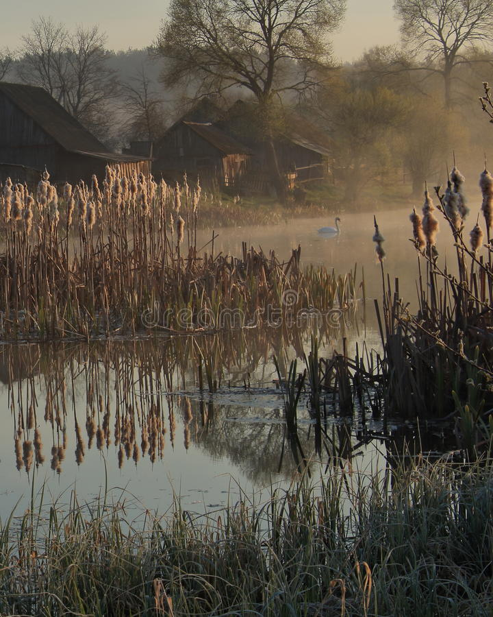 Download Swan On The Pond In The Belarusian Village Stock Photo - Image of mist, jack: 74010282