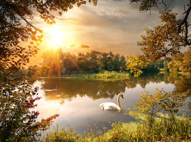 Swan on the pond. In the evening royalty free stock images