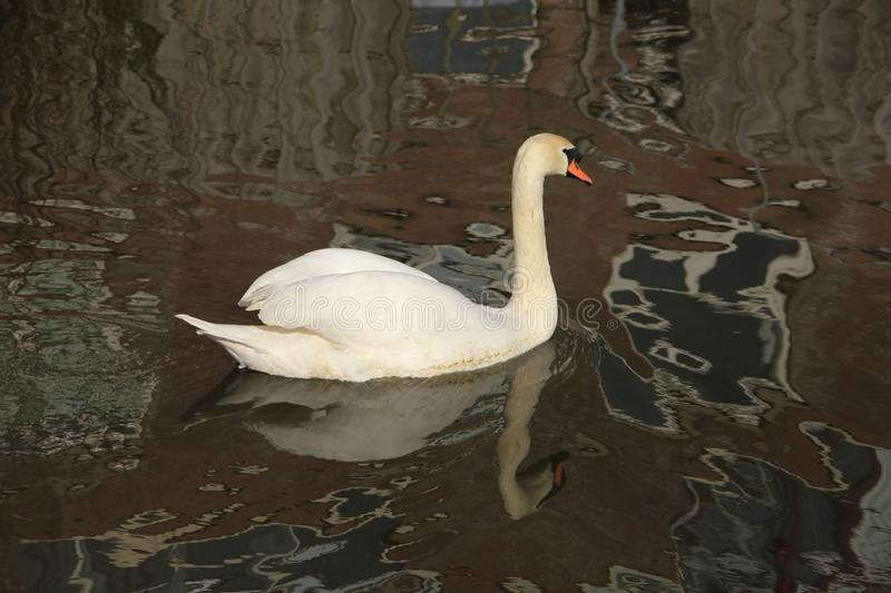 A swan in the pond in spring and reflections in the water. royalty free stock photos
