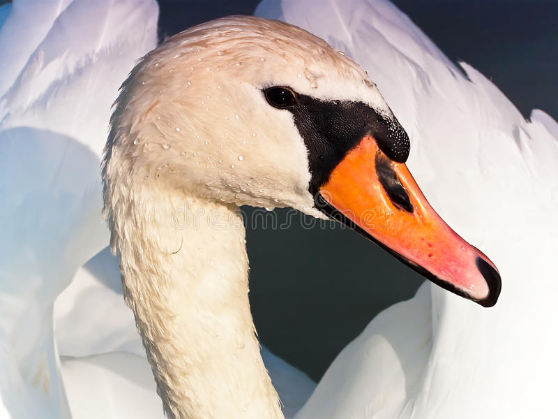 Swan Portrait Stock Image