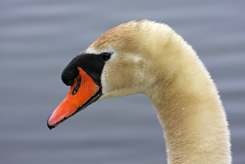 Swan portrait royalty free stock image