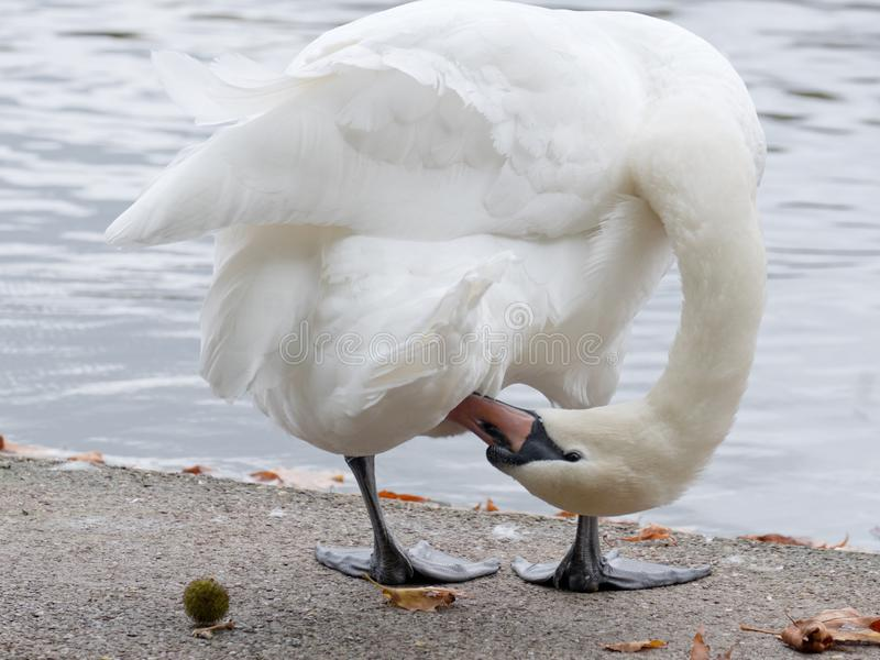 Swan preening itself at a lakeside UK. A mute swan appears to contort itself in the effort of preening royalty free stock photo
