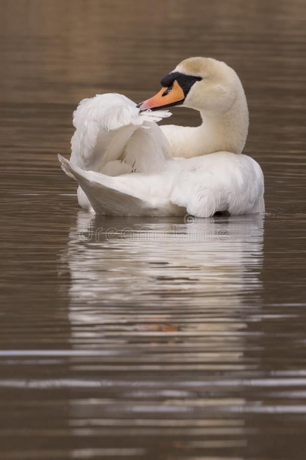 Download A mute swan preening stock image. Image of mute, feathers - 112354407
