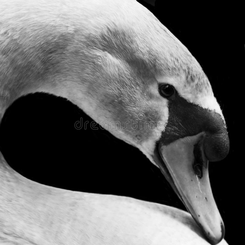 Swan in profile closeup royalty free stock image