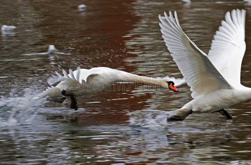 Download Swan race. stock photo. Image of action, water, chase - 26930386
