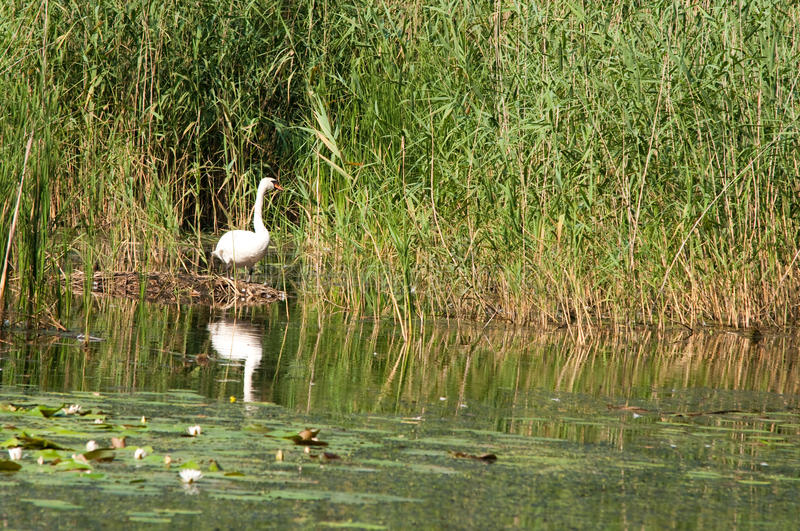 Download Swan in reeds on the pond stock photo. Image of wildlife - 15574398