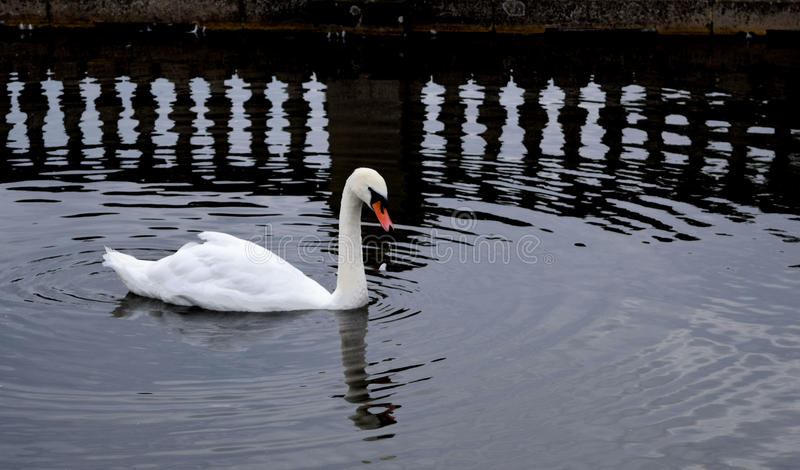 Swan and refelctions stock image