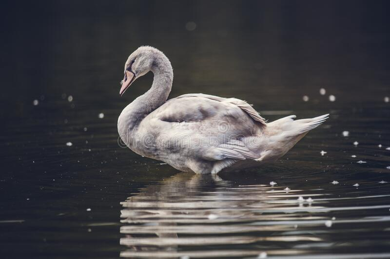Swan reflecting on water royalty free stock photo