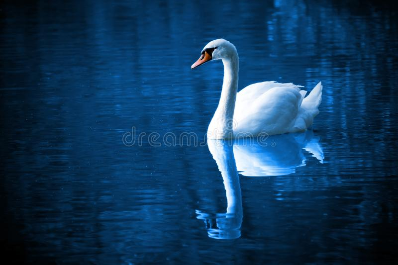 Swan, Reflection, Water, Water Bird stock photos