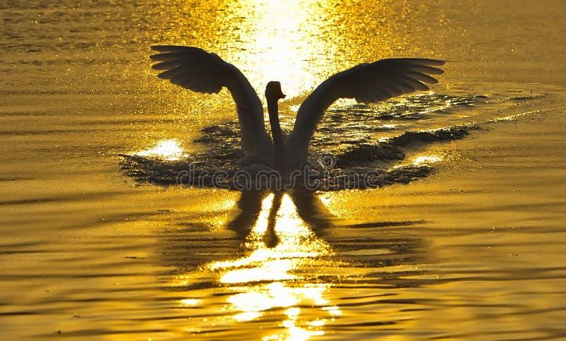 Swan reflections royalty free stock photos