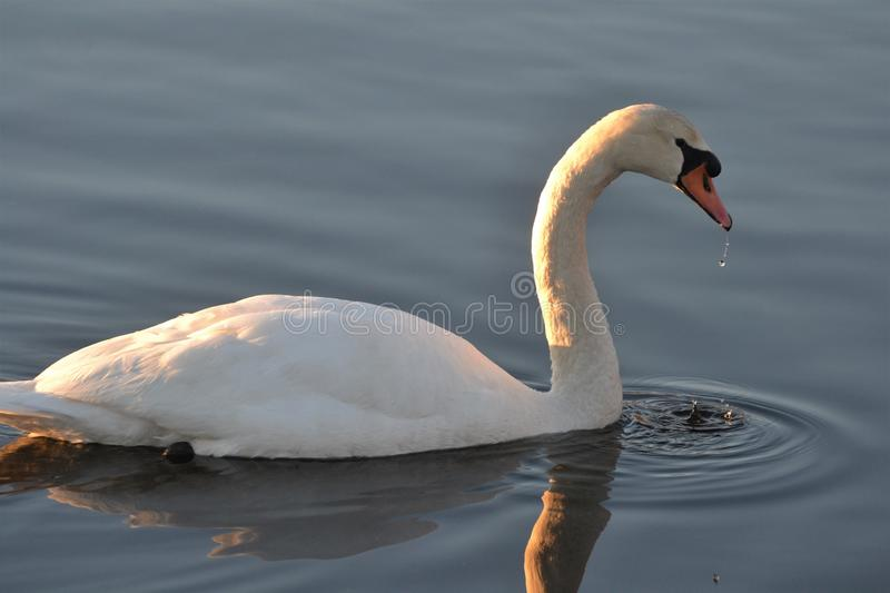 Swan reflections in the morning sunlight sunrise royalty free stock image