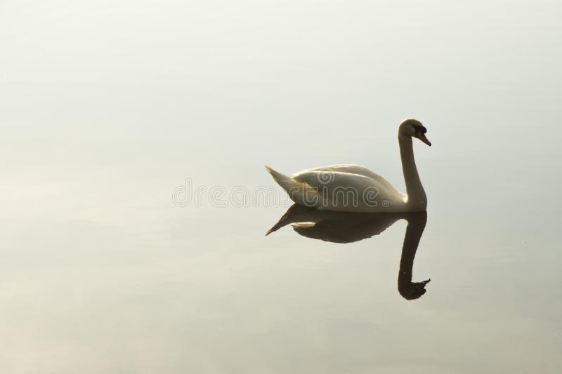 Swan Reflections stock photography