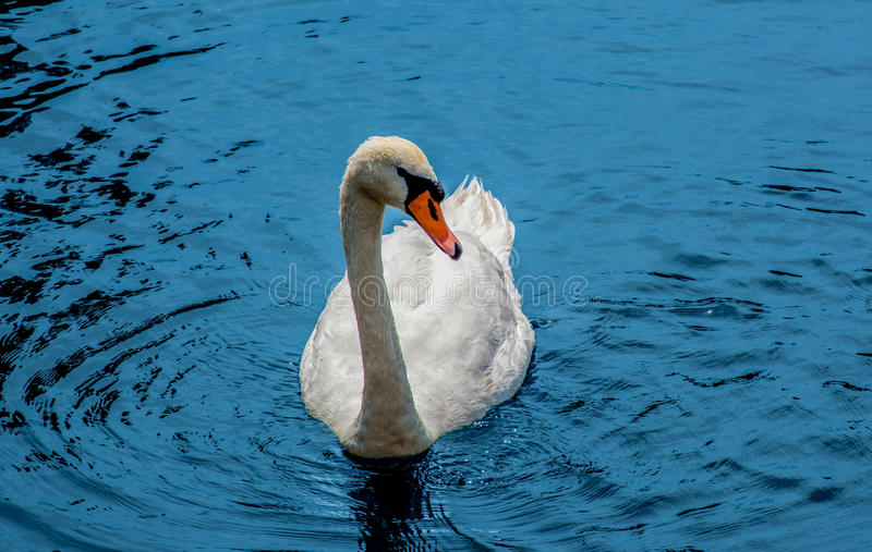 Swan on the river Anapka royalty free stock images