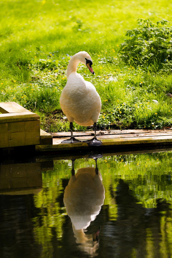 Swan On River Bank With Reflection. A large swan on wooden decking by the grassy river bank seemingly admiring his own reflection. Taken on the River Yare royalty free stock images