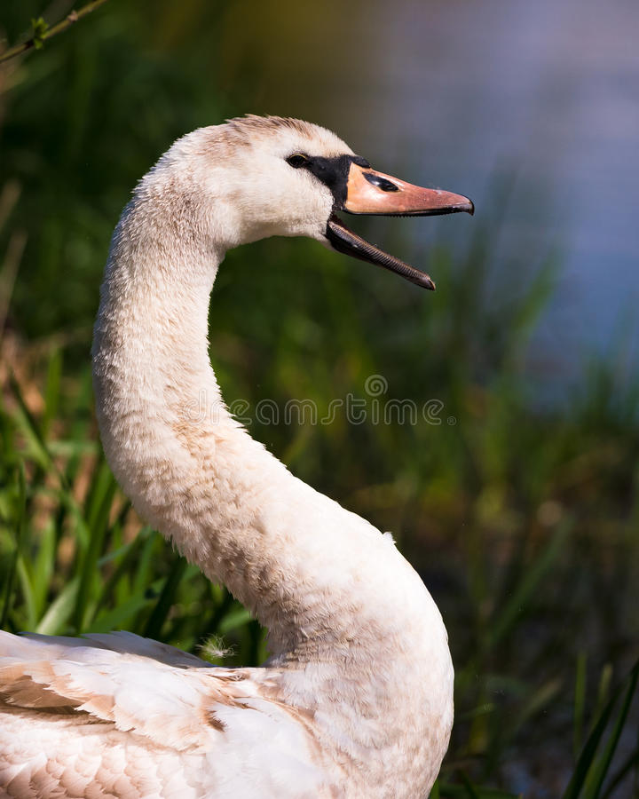 Swan On River Bank Smiling. A young swan seemingly happy and smiling with his beak wide open surrounded by rushes and grass. Taken on the River Yare, Norfolk royalty free stock photo