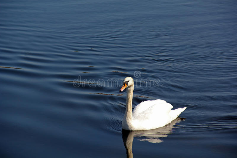 Swan on River Nith Scotland royalty free stock image
