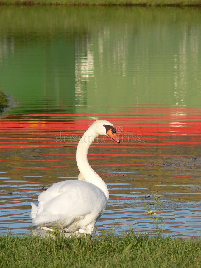 Swan by riverbank stock photos