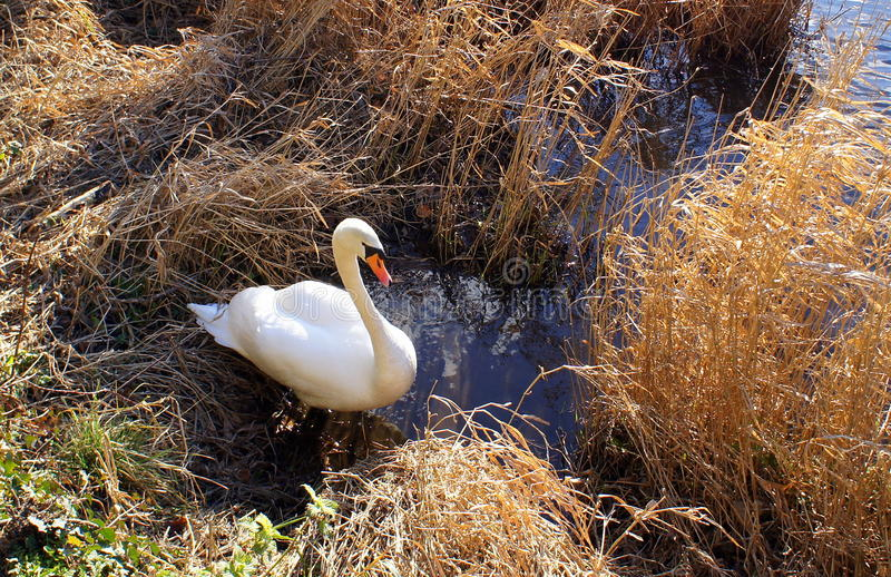 Swan in riverside reeds. A mature swan in a riverbank setting amid brown reeds and grass, in bright sunlight royalty free stock images