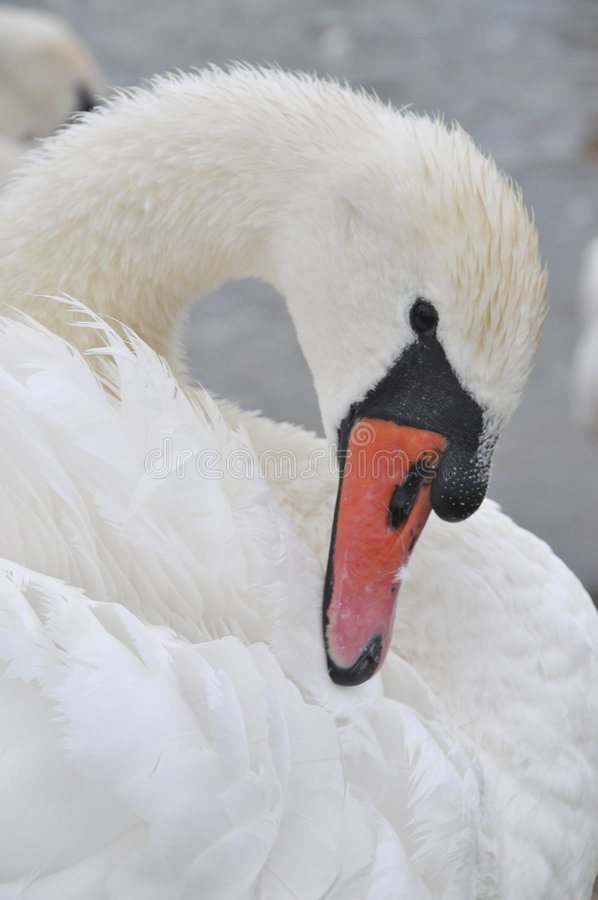 Download Swan sea stock image. Image of graceful, swan, ugly, white - 6388101