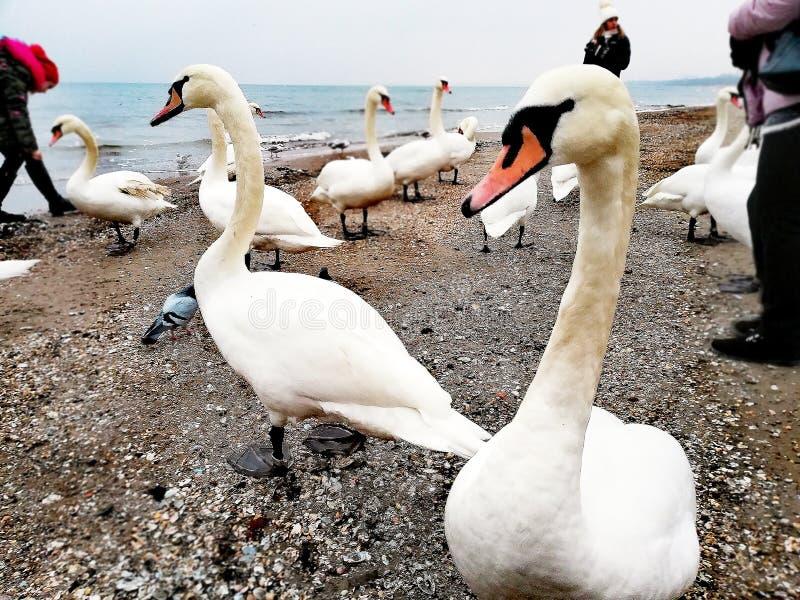 Swan on the sea shore stock image