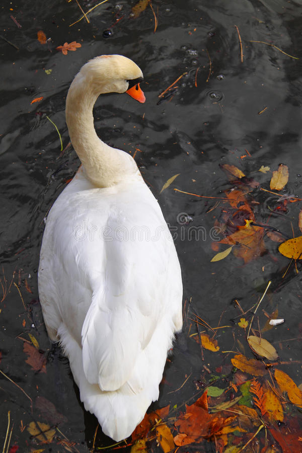 Download Swan See stockfoto. Bild von vogel, feder, schnabel, float - 12201436