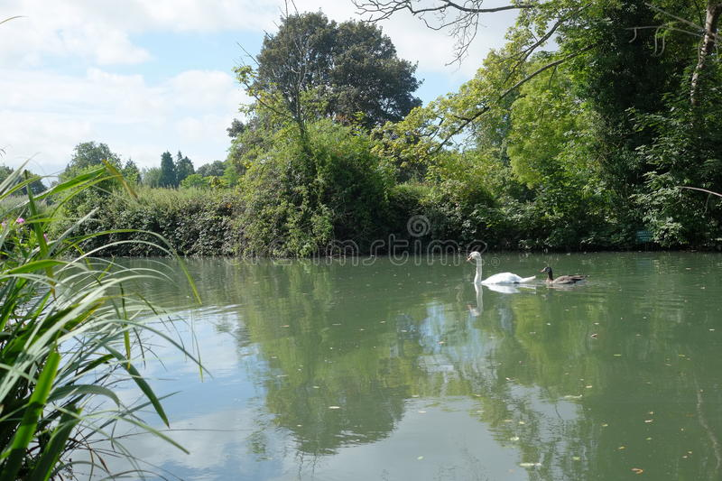 Swan & signet gliding in river stock photography