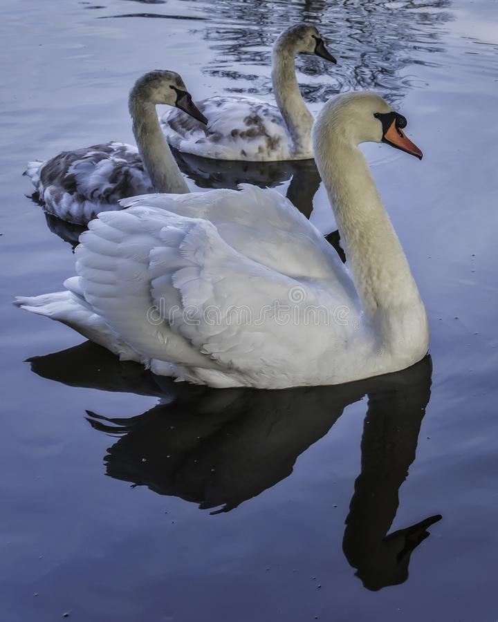 Swan and Signets stock photo