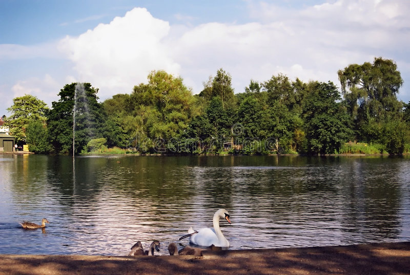 Swan and Signets On A Pond royalty free stock image