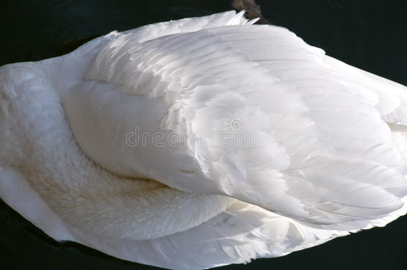 Swan sleeping stock image