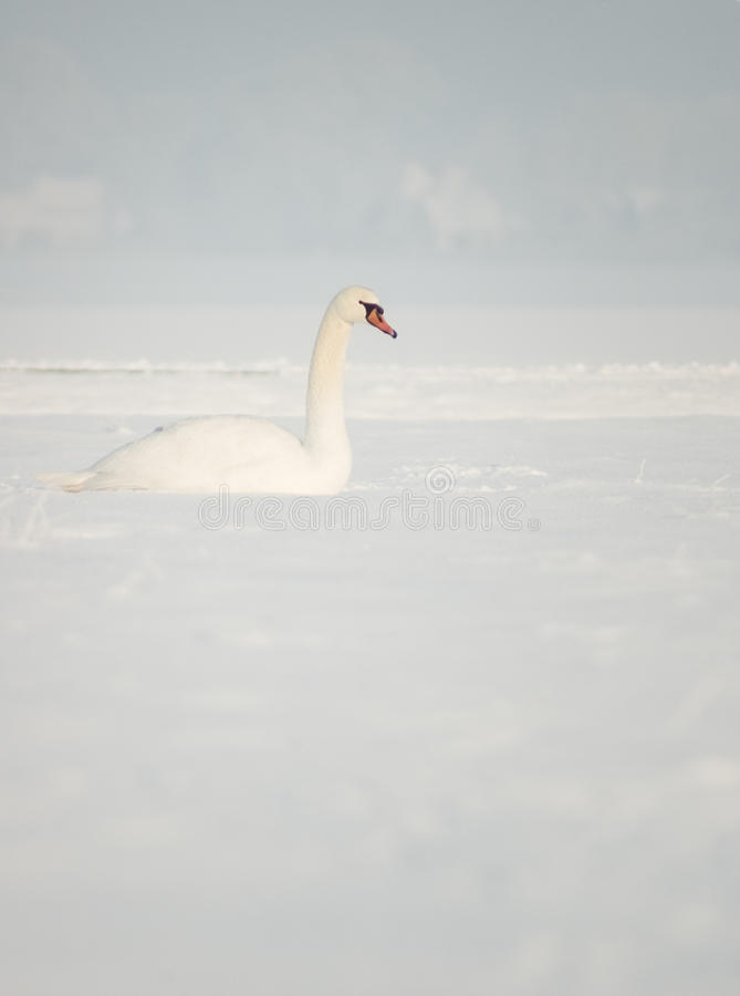 Download Swan In Snow Royalty Free Stock Photo - Image: 12426995