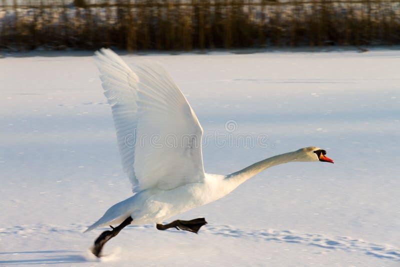 Swan snow take off stock photo