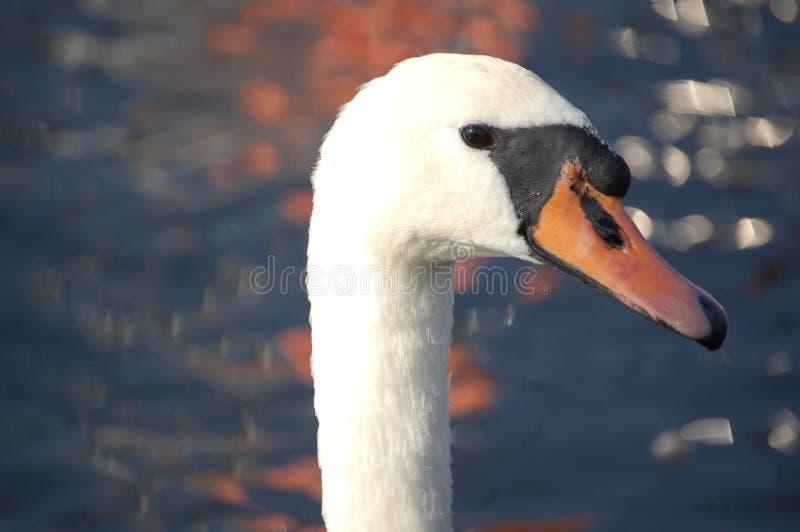 Swan som väntar partnern